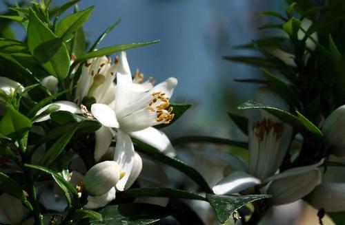 Orange_blossom_fleur_doranger