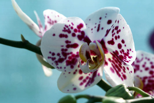 Orchid_orchidee