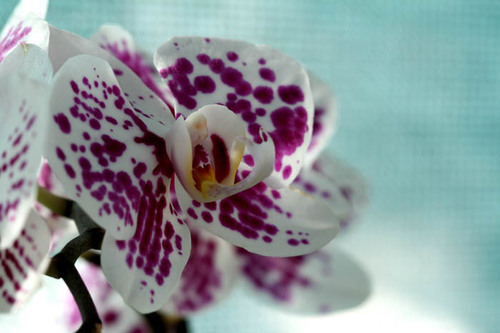 Orchid_orchidee_2
