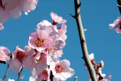 100 Flowers Fleurs N 2 Peach Flower Fleur Pecher Flore Pessegueiro