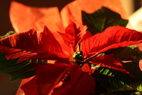 Poinsettia_poinstia