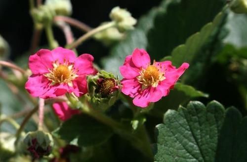 Strawberries_in_blossom_fleurs_de_fraisi