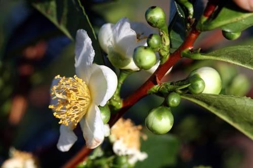 Tea_blossom_fleur_the