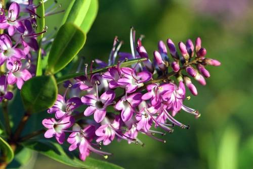 Violet_purple