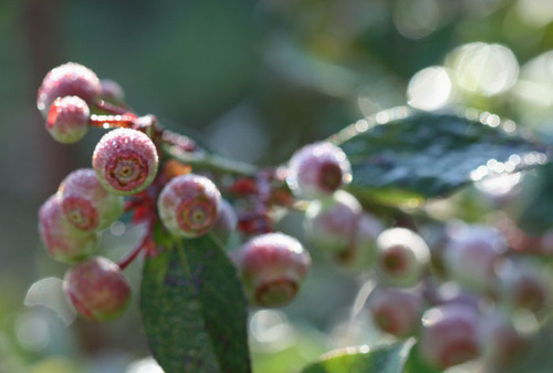 Blueberries_myrtille
