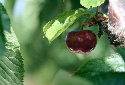 Cherry_bigarreau_burlat_cereja_doce
