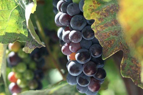 Grap raisin