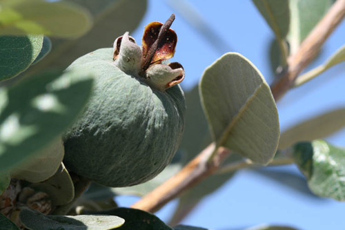Pineapple_guava_feijoa_goyave_de_montevi