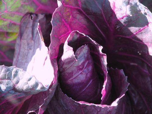 Red_cabbage_chou_rouge_brassica_oleracea