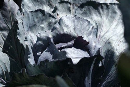 Red_cabbage_chou_rouge_brassica_oleracea_2