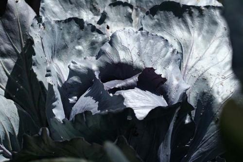 Red_cabbage_chou_rouge_brassica_oleracea_2