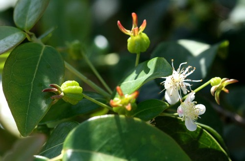 Surinam_cherry_pitanga_eugenia_uniflora