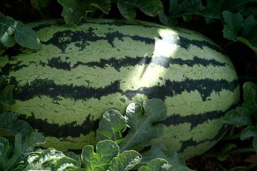 Watermelon_pastque_klondike_melancia