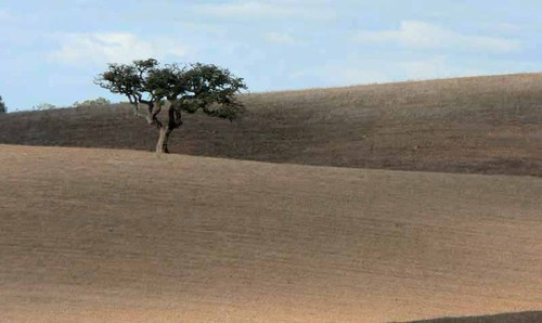 Cork_tree