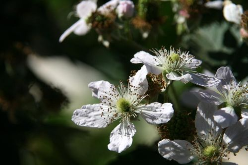 Flor de amora