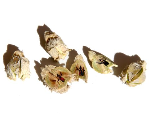 Graines amla amra seeds