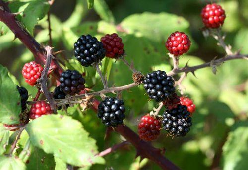 Blackberry mure Murons Rubus fruticosus