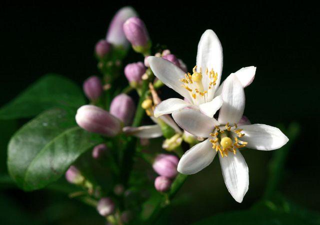 Citrus aurantifolia limette santa barbara 10.3