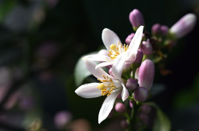 Citrus aurantifolia limette Santa Barbara 9.2