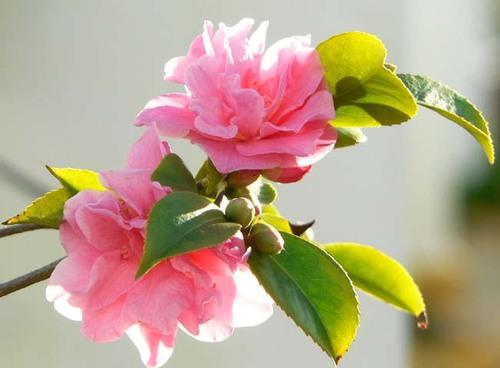 Camellia_x_williamsii_fragrant_pink