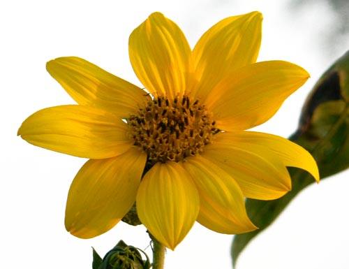 Girasol_girasole_sunflower_tournesol