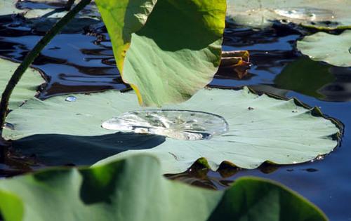 Lotus_leaves