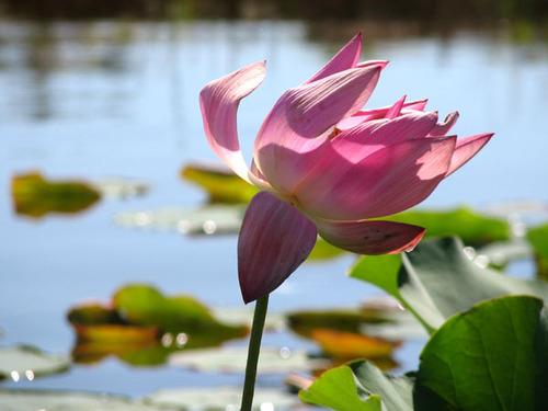Lotus_nelumbo_rosea_plena