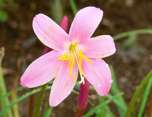 Pink_flower_fleur_rose