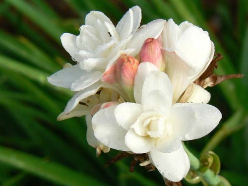 Polianthes_tuberosa