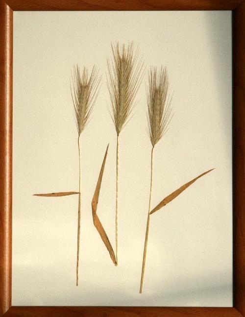 Gramineae_1_herbarium_lof