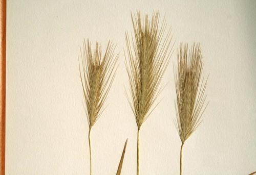 Gramineae_2_herbarium_lof