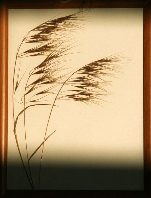Gramineae_3_herbarium_lof