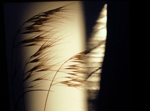 Gramineae_4_herbarium_lof