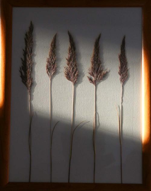 Gramineae_5_herbarium_lof