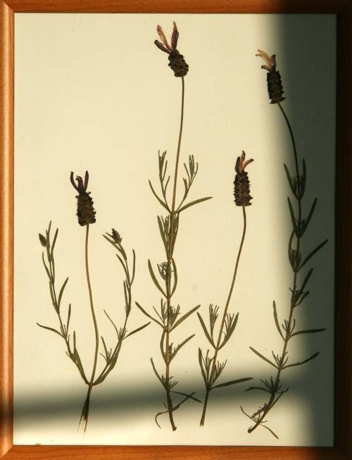 Lavandula_1_herbarium_lof