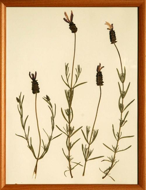 Lavandula_2_herbarium_lof
