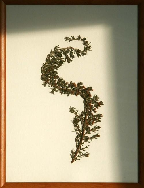 Rosmarinus_1_herbarium_lof