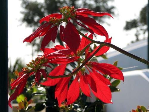 Poinsettia_euphorbia_pulcherrima