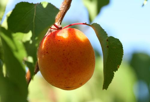 Apricot_abricot_alperce