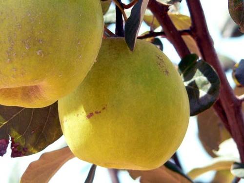 Cydonia_vulgaris_quince