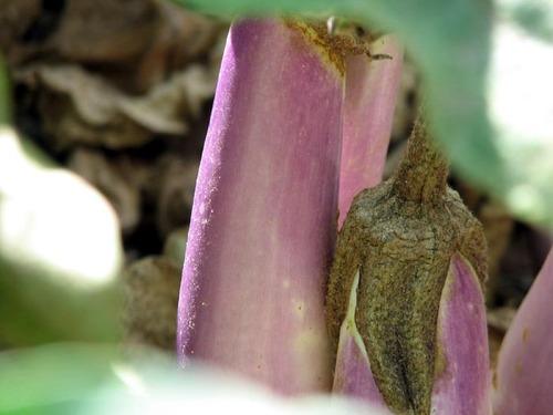 Eggplant_aubergine