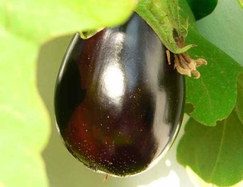 Eggplant_solanum_melongena_aubergine