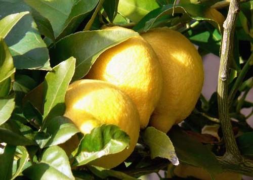 Lemon_citron_limao