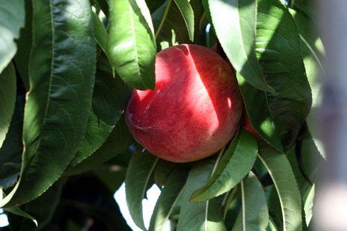 Pêssego peche peach