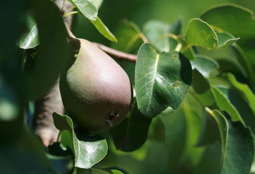 Pear_poire