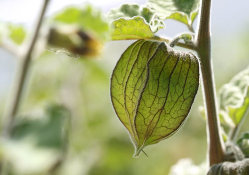Physalis_cape_gooseberry