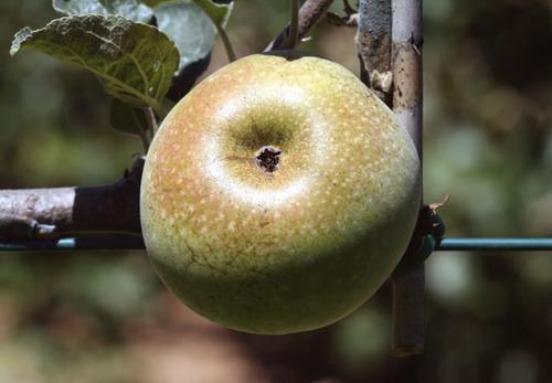 Pomme_ontario_apple