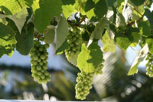Raisin_grapes_uvas