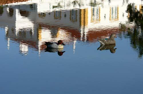 Ducks_canards_patos