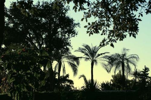 Dwarf_palms_phoenix_roebellini_dattier_d